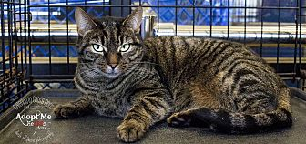 Domestic Shorthair Cat for adoption in Charlotte, North Carolina - A..  Mable