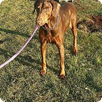 Adopt A Pet :: Bella - Lafayette, IN