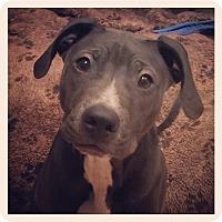 Adopt A Pet :: Rookie - Dayton, OH