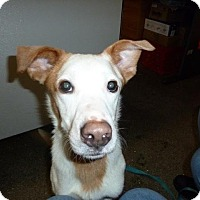 Labrador Retriever/Pointer Mix Dog for adoption in Northeast, Ohio - Rocky with NBRAN