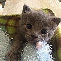 Adopt A Pet :: Gracey - Redondo Beach, CA