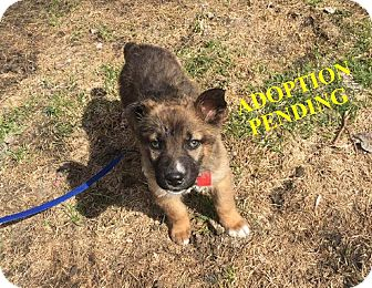 German Shepherd Dog Mix Puppy for adoption in Winnipeg, Manitoba - NIKITA
