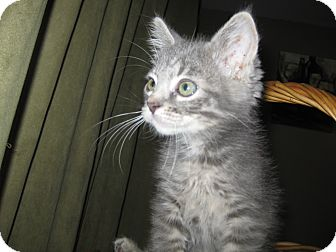 Domestic Shorthair Kitten for adoption in Clearfield, Utah - Pixie