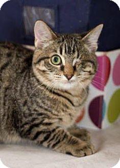 American Shorthair Kitten for adoption in San Antonio, Texas - Eyeball