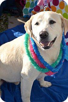 Labrador Retriever Dog for adoption in San Diego, California - Palomo