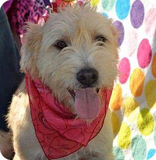 Terrier (Unknown Type, Medium)/Irish Terrier Mix Dog for adoption in San Diego, California - Pepe
