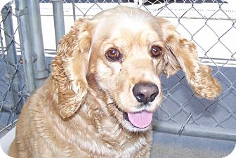 Cocker Spaniel Mix Dog for adoption in Grants Pass, Oregon - Baby