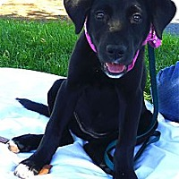 Adopt A Pet :: Bella the beautiful loving fun - Sacramento, CA