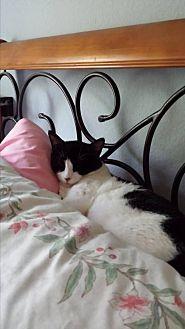Domestic Shorthair Cat for adoption in Tustin, California - Christoff