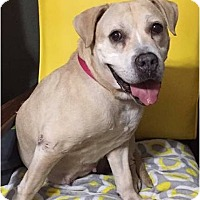 Beagle/Labrador Retriever Mix Dog for adoption in Boiling Springs, Pennsylvania - Flicker