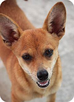 Chihuahua/Corgi Mix Puppy for adoption in Jewett City, Connecticut - Satchel