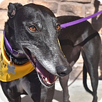 Greyhound Dog for adoption in Tucson, Arizona - Danica ( Dani)