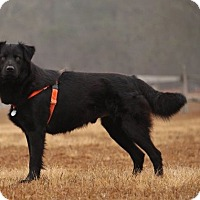 Adopt A Pet :: Licorice-Adoption Pending - Pinehurst, NC