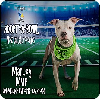 American Bulldog/American Pit Bull Terrier Mix Dog for adoption in Las Vegas, Nevada - MARLEY