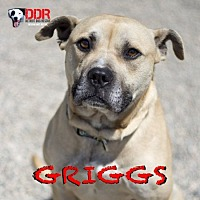 Adopt A Pet :: Griggs - St. Clair Shores, MI