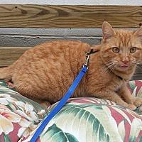 Domestic Mediumhair Cat for adoption in Shinnston, West Virginia - PJ