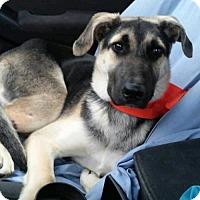 German Shepherd Dog/Shepherd (Unknown Type) Mix Dog for adoption in Alpharetta, Georgia - DuffMcKagen