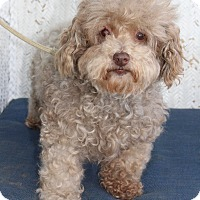 Adopt A Pet :: Chanel - Sullivan, MO