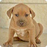 Adopt A Pet :: Zed - San Antonio, TX