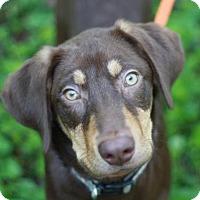 Adopt A Pet :: Chuck - Brattleboro, VT