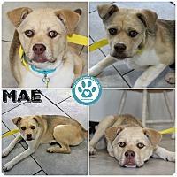 Adopt A Pet :: Mae - Kimberton, PA