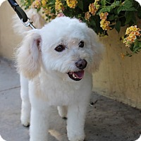 Adopt A Pet :: Bumbleton - 11 pounds - Los Angeles, CA