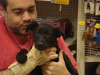 German Shepherd Dog/Labrador Retriever Mix Puppy for adoption in Tonopah, Arizona - SAMMY