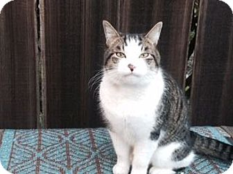 Domestic Shorthair Cat for adoption in Berkeley, California - Fred