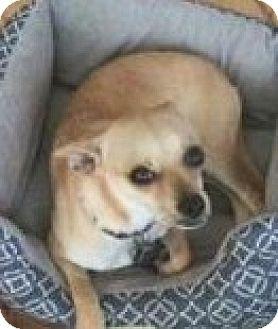 Chihuahua Mix Dog for adoption in Seattle, Washington - Cheerio