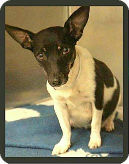 Rat Terrier/Fox Terrier (Smooth) Mix Dog for adoption in College Station, Texas - Faith