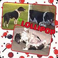 Pointer/Hound (Unknown Type) Mix Dog for adoption in Scottsdale, Arizona - Lollipop