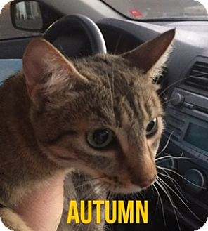 Domestic Mediumhair Cat for adoption in Glendale, Arizona - AUTUMN