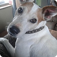 Jack Russell Terrier Dog for adoption in Dallas/Ft. Worth, Texas - Pilot in Denton