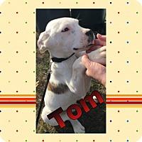 Adopt A Pet :: Tom - Madison, AL