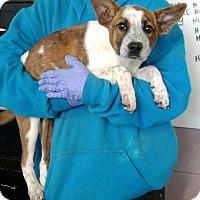 Adopt A Pet :: Rosemarie - Ozone Park, NY
