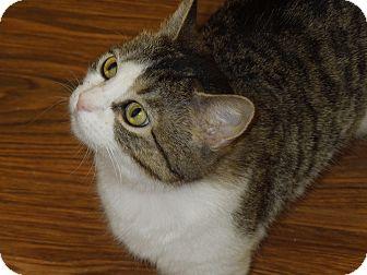 Domestic Shorthair Cat for adoption in Medina, Ohio - Angelina