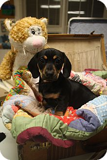 Dachshund Mix Puppy for adoption in Knoxville, Tennessee - JC