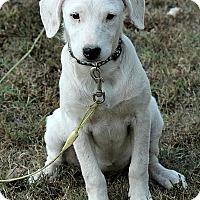 Adopt A Pet :: Libby - Brattleboro, VT