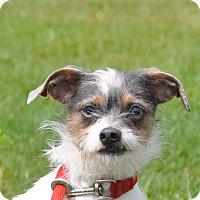 Adopt A Pet :: Ozzie - Tumwater, WA