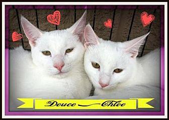Domestic Mediumhair Cat for adoption in Rustburg, Virginia - Deuce: Fostered