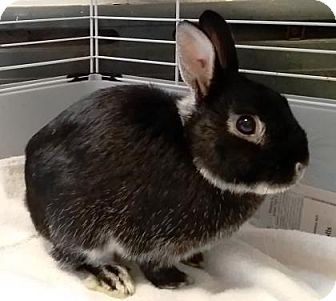 Netherland Dwarf Mix for adoption in Bellevue, Washington - Cadbury