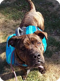 Boxer/American Staffordshire Terrier Mix Dog for adoption in Hagerstown, Maryland - Gracie
