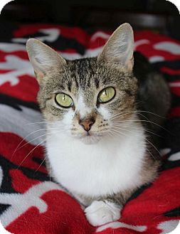 Domestic Shorthair Cat for adoption in Chattanooga, Tennessee - Bridget
