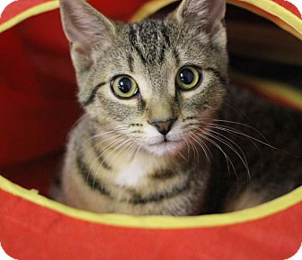 Domestic Shorthair Kitten for adoption in Carlisle, Pennsylvania - Sake