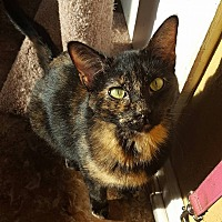 Domestic Shorthair Cat for adoption in Enid, Oklahoma - Clara
