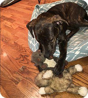 Pit Bull Terrier/Plott Hound Mix Dog for adoption in Houston, Texas - Zoe
