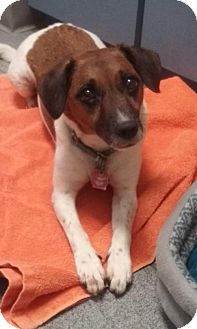 Jack Russell Terrier Dog for adoption in Tampa, Florida - CeceFOSTERNEEDED