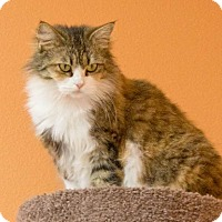Calico Cat for adoption in Rockport, Texas - Valarie