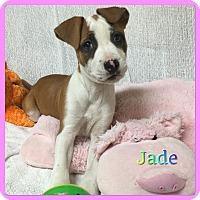 Adopt A Pet :: Jade - Hollywood, FL