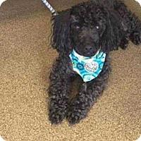 Miniature Poodle Mix Dog for adoption in Mount Mourne, North Carolina - Mister